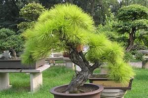 Bonsai Baum Garten : file bonsai at the gardens of pagoda yunyan ~ Lizthompson.info Haus und Dekorationen