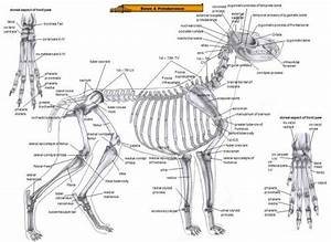 Skeletal System Dog Bone Anatomy