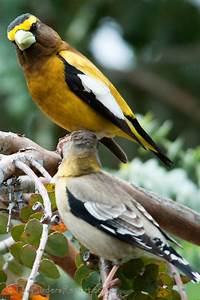 Evening Grosbeaks Irrupt At The American Birding