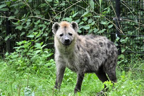 hyena  stock photo public domain pictures