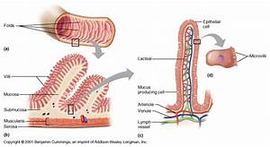 Why Does The Wall Of The Small Intestine Need A Large
