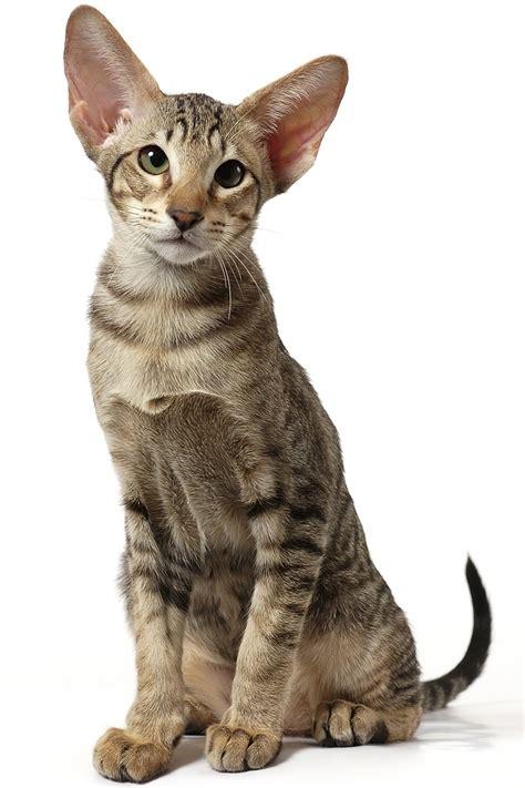 Oriental Shorthair Cat  The Happy Cat Site