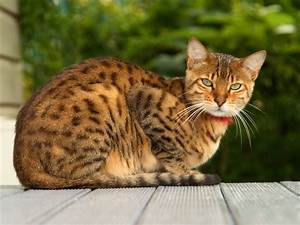 The Bengal-one of the most popular cat breeds with a wild ...