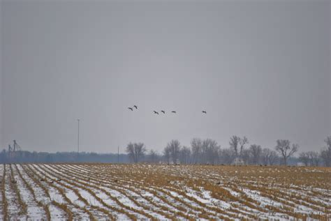 goose snow hunting season nothing weekend early york geese canada migration fowledreality waterfowl