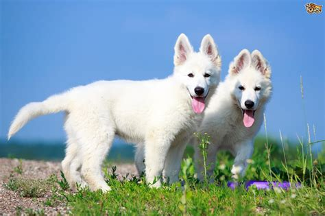 white swiss shepherd dog breed facts highlights