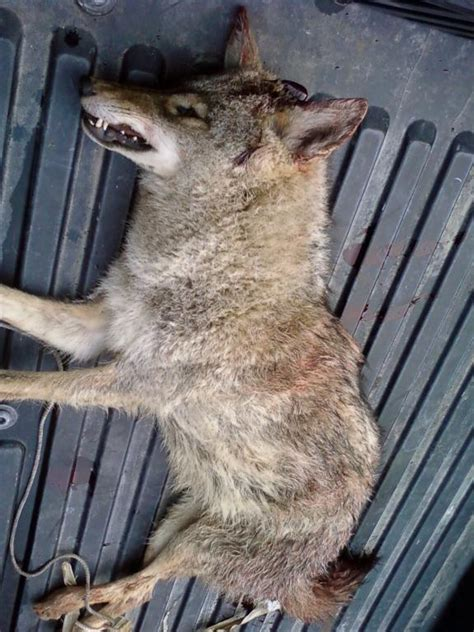 dead coyote southern hunting