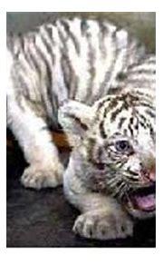 Albino Animals - Mammals (part 2, Carnivores) - Cliff Lamere