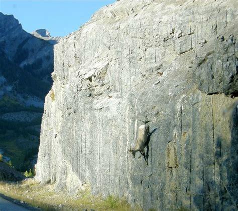 pictures  crazy goats  cliffs  words