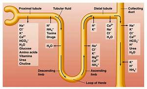 Igcse Biology  2 71 Describe The Structure Of A Nephron