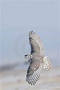 3d Owl Design Winter White Snowy Owl In Flight Stock Images Image