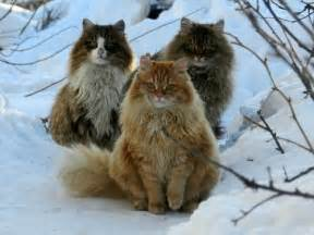 forest cat personality forest cat history personality appearance