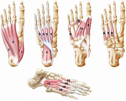 Foot Core Intrinsic Muscles Pie Del System