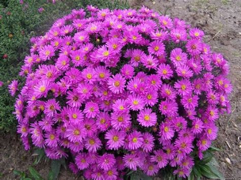 flower with big purple 45 most beautiful aster flower images golfian com
