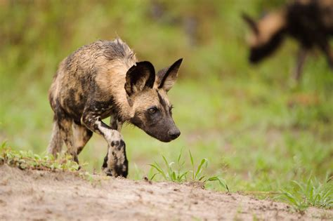 wild dog rescued  snare  kruger national park