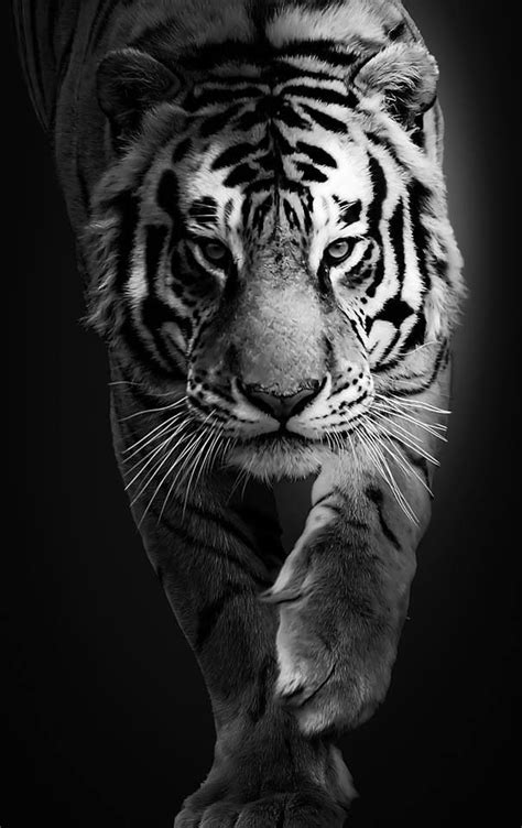Pin by Amanda Howell on Big cats, Tiger love! | Tiger tattoo design, Animal tattoos, Tiger tattoo