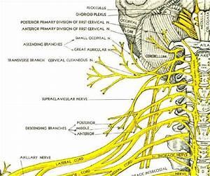 Pictures Of Cervical Spinal Nerve