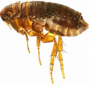 Puce De Chien : maheu extermination punaise de lit fourmis souris ~ Melissatoandfro.com Idées de Décoration