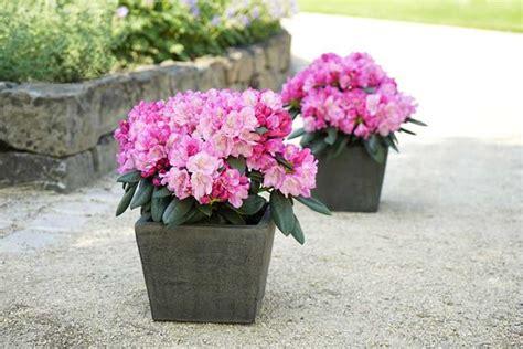 Wann Kann Rhododendron Schneiden by Rhododendron Pflege 187 Wann Schneiden Schnitt