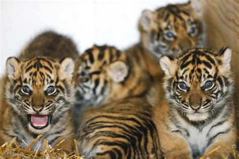 topeka zoo     month  tiger cubs