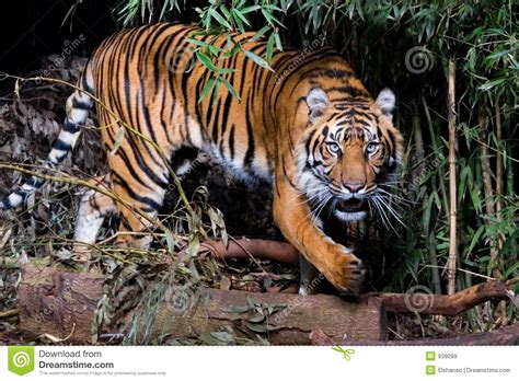 tiger royalty  stock images image
