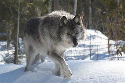 Wolf Gray Winter Facts Snow Grey Female