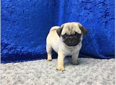 Pug Puppies Petland San Antonio