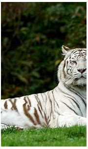 What's the Meaning of a White Tiger?