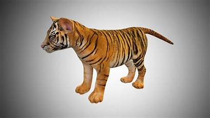 Tiger Cub Low Poly Rigged