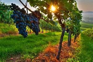 Cómo es la vid, la planta de la uva (fotos, vídeos y audios)