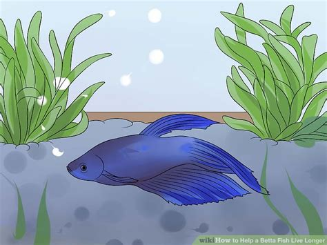 how do beta fish live how to help a betta fish live longer with pictures wikihow