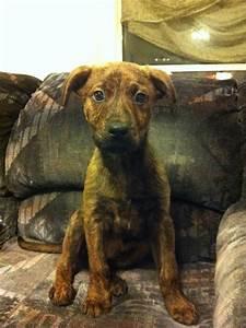 Rottweiler / boxer mix puppy. My love
