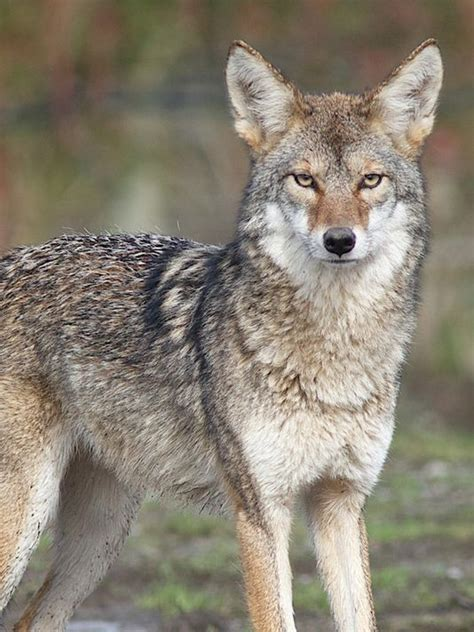 Images Of A Coyote Coyotes Near Yonkers Raceway Prompt Meeting Thursday