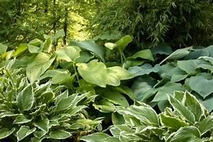 Pflanzen Im Schatten : bodendecker gegen unkraut welche pflanzen eignen sich daf r ~ Orissabook.com Haus und Dekorationen