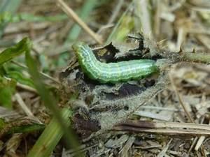 Chenille Verte Fluo : operophtera brumata chenille vert fluo le monde des ~ Nature-et-papiers.com Idées de Décoration
