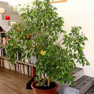 Arbuste D Intérieur : cultiver des plantes d polluantes jardinage ~ Premium-room.com Idées de Décoration