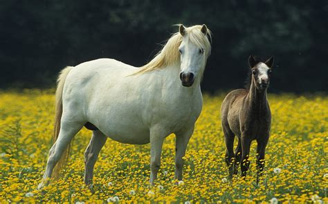 horse meadow flowers hd colt yellow wallpapers13
