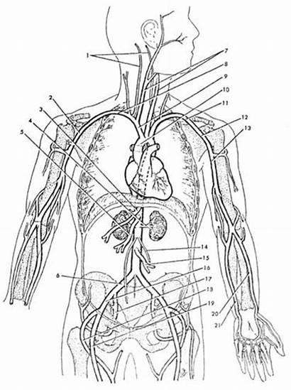 Veins Arteries Major Systemic Worksheet Blood Heart