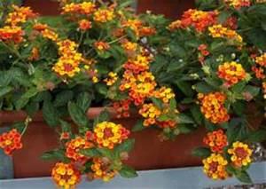 Balkonpflanzen Hängend Pflegeleicht : lantana camara 13 wandelr schen sorte oranje king orange ~ Lizthompson.info Haus und Dekorationen