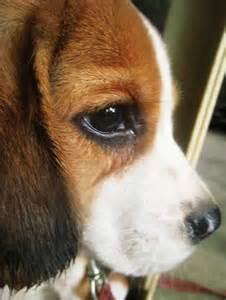 Baby Face Beagle