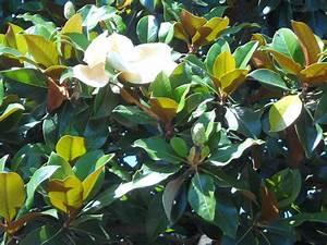 Was Ist Das Für Ein Baum : was ist das f r ein baum gro e wei e bl ten pflanzen ~ Watch28wear.com Haus und Dekorationen