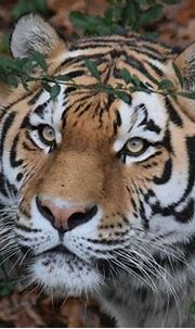 Tiger 4k Ultra HD Wallpaper   Background Image   5116x3410 ...