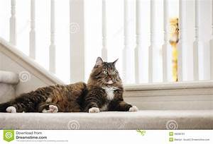 Maine Coon Cat Mix Stock Photo - Image: 46698791