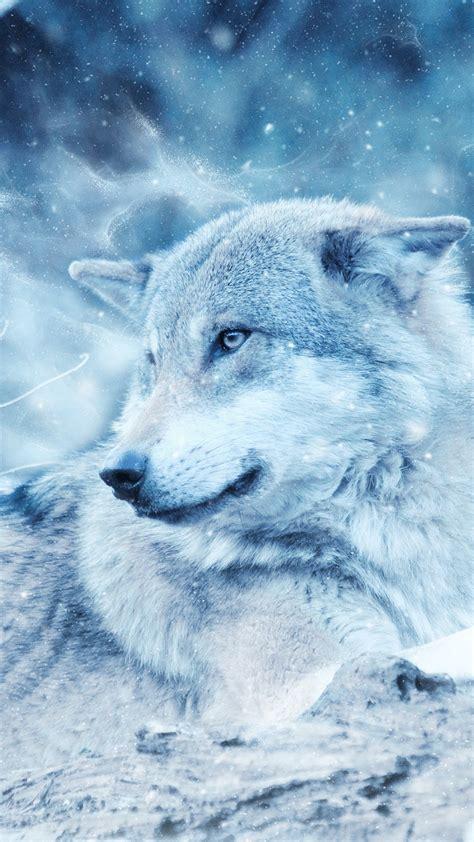 wallpaper wolf wild snow winter cold hd animals