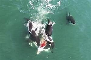 Amazing footage of Orcas hunting minke whale - Storytrender