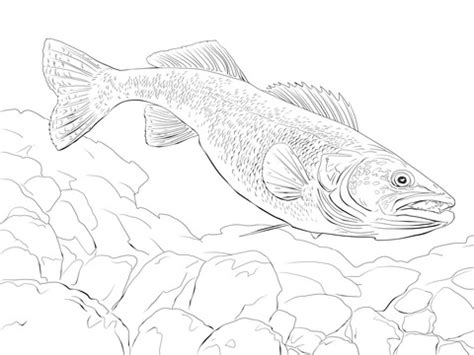 walleye fish coloring page  printable coloring pages