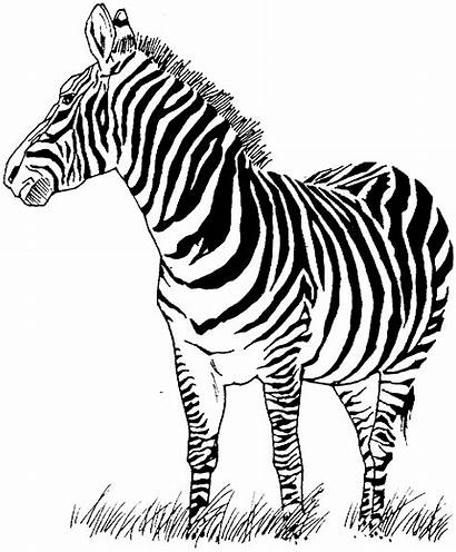 Zebra Coloring Pages Animals Wildlife Grass Stamps