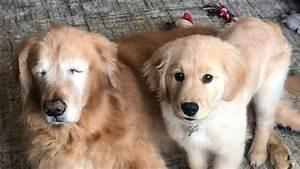 blind golden retriever gets quot seeing eye quot puppy