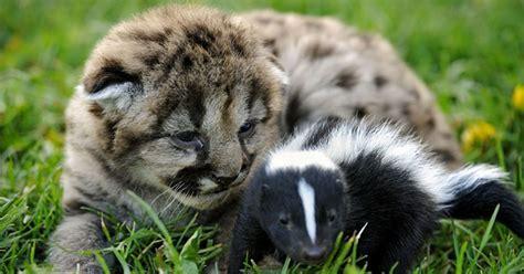 animal odd couple baby skunk  lion cub