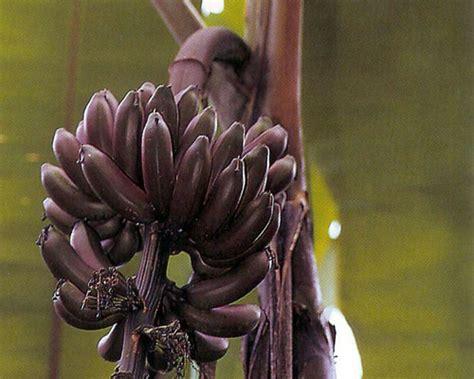 musa dwarf red banana  agristarts