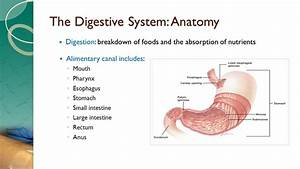 The Digestive System: Anatomy - ppt download